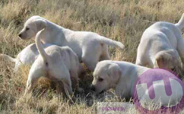 Sora Ferentino Cuccioli Di Labrador Abbandonati Sulla Superstrada